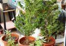 Sorpreso in casa a coltivare e detenere illecitamente canapa indiana. Arrestato un 30enne dai Carabinieri.